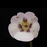 벌레잡이제비꽃 - Pinguicula oboroduki(포월)|