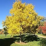 조경수 황금회화나무 묘목 / 회화나무묘목 / 조경수 / 나무묘목 / 관상수 /|variegated