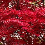 조경수 사계홍단풍_블러드굿 묘목 / 나무묘목 / 활엽수 / 단풍나무 / 조경수 / 정원수 /|