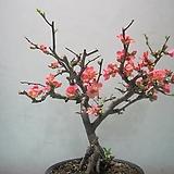 고령금,분홍명자,대품CA1987-굵은목대,동일품배송,무료배송|variegated