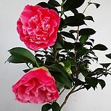 분홍동백|