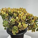 황금염좌|Crassula argentea f variegata