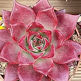 루밍중품|Echeveria Luming