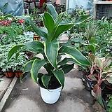 도라도라/공기정화식물/높이62센치|