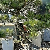소나무(정원용)|