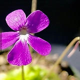 벌레잡이제비꽃 - Pinguicula sethos(세토스)|