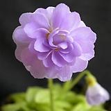 벌레잡이제비꽃 - Pinguicula primulaflora (Rose-겹꽃벌레잡이)|