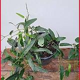 꽃과나무 ] 자주색싸리 / 초본류 / 공기정화 / 양지식물 / 잎보기식물 / 최저온도 10도 / 호주산 / A067|