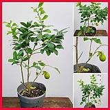 꽃과나무 ] 왕레몬나무 / 리스본 / 유실수 / 봄꽃 / 향기 / 양지 / 최저5도 / 히말라야산|