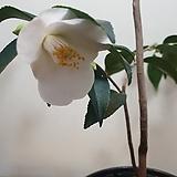 매죽향(꽃이 피기 시작해요) |