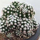 눈꽃선인장군생|Mammillaria gracilis cv.
