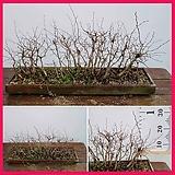 꽃과나무 ] 소사나무분재 / 모둠 / 분재 / 자작나무과 / 양지식물 / 최저-12도 / 한국산|