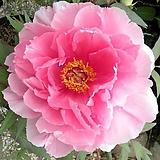 조경수 목단(모란) 3년생 개화주 P-1 야치요 츠바키(Yachiyo Tsubaki) 포트 / 목단 묘목 / 모란꽃 / 부귀화 / 목단 꽃 / 겹꽃나무 /|Echeveria cv Beniothine