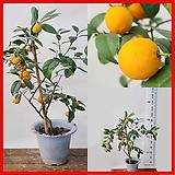 꽃과나무 ] 레몬오렌지 / 유실수 / 열매 / 향기 / 봄꽃 / 교배종 / 최저온도5도 / 한국산|