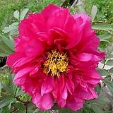 조경수 목단(모란) 3년생 개화주 R-19 유메이 몬(Yomei mon) 포트 / 목단 묘목 / 모란꽃 / 부귀화 / 목단 꽃 / 겹꽃나무 /|Echeveria cv Beniothine