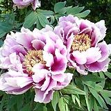 조경수 목단(모란) 3년생 개화주 V-12 와라이 시시(Warai shishi) 포트 / 목단 묘목 / 모란꽃 / 부귀화 / 목단 꽃 / 겹꽃나무 /|Echeveria cv Beniothine