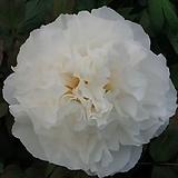 조경수 목단(모란) 3년생 개화주 W-4 코시노 유키(Koshino Yuki) 포트 / 목단 묘목 / 모란꽃 / 부귀화 / 목단 꽃 / 겹꽃나무 /|Echeveria cv Beniothine
