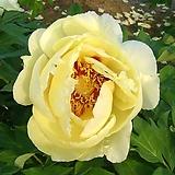 조경수 목단(모란) 3년생 개화주 Y 오칸(Okan) 포트 / 목단 묘목 / 모란꽃 / 부귀화 / 목단 꽃 / 겹꽃나무 /|Echeveria cv Beniothine