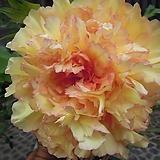 조경수 목단(모란) 3년생 개화주 Y-4 킨카쿠(Kinkaku) 포트 / 목단 묘목 / 모란꽃 / 부귀화 / 목단 꽃 / 겹꽃나무 /|Echeveria cv Beniothine