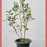 꽃과나무 ] 애플 구아바나무 / 생명살리는나무 / 유실수 / 양지식물 / 최저온도 5도 / 남미산|
