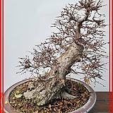 꽃과나무 ] 백소사나무 / 분재 / 자작나무과 / 양지식물 / 최저-12도 / 한국산 /|