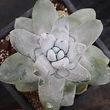 야생환엽파키피덤(뿌리무) Dudleya pachyphytum