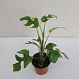 히메 몬스테라/공기정화식물/온누리 꽃농원|