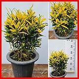 꽃과나무 ] 바나나크로톤 / 관엽 / 공기정화 / 초본류 / 최저13도 / 동남아시아산|