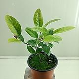 레몬나무(열매가  열렷다 졋다해요)
