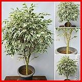 꽃과나무 ] 스트라이프벤자민 / 무늬벤자민 / 고무나무 / 상록수 / 관엽 / 반양지 / 최저15도 / 인도고무나무|