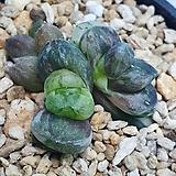 옵투사 묵3두|Haworthia cymbiformis var. obtusa