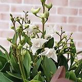 [도희씨네 정원] 꽃향기 진한 화이트 긴기아난 230|