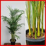 꽃과나무 ] 아레카야자 / 야레카야자 / 열대식물 / 공기정화 / 반양지 / 최저3도 / 마다가스카르산|