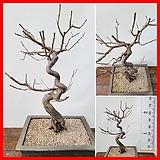 꽃과나무 ] 홍매화나무 / 분재 / 봄꽃 / 야생화 / 최저-10도 / 중국매화|Echeveria Multicalulis  Ginmei Tennyo