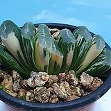 옥선 백산반금|Haworthia truncata