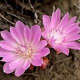 (희귀종)세엽 레위시아-비터루트|