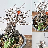 꽃과나무 ] 홍장수매화 / 석부작 / 봄꽃 / 양지 / 최저-10도 / 동북아시아산|