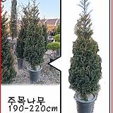 꽃과나무 ] 주목나무 / 정원수 / 공기정화 / 야생화 / 고산지대 / 양지 / 최저-30도 / 한국|