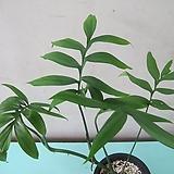 희귀식물,섭피나타 몬스테라,서브피나타 몬스테라C2044-동일품배송,무료배송|