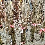 팽나무 (실생1년생) [모든원예조경]|