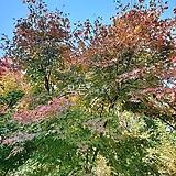 단풍나무 (청단풍) 실생2년생 단풍묘목 [모든원예조경]|