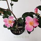 [도희씨네 정원] 러블리한 핑크빛 미니 향기동백 179|Echeveria Lovely