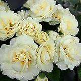 발레리나앵초-크림|Aeonium ballerina