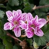 풍로초 (분홍 겹꽃) - 미니종  2차입고