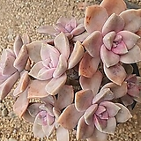 퍼플딜라이트 합식|Graptopetalum Purple Delight