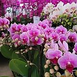 얼레강스 서양란 호접란 꽃대 1-2대145 |