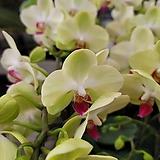 그린베어 서양란 호접란  꽃대 1-2대145 |