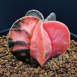 핑크온즈카난봉옥(뿌리조금) 0112-28|Astrophytum myriostigma cv. ONZUKA