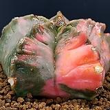 핑크난봉옥금 (접목.뿌리무) 0112-99|variegated