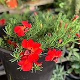초연초/빨강|Echeveria cv Huthspinke